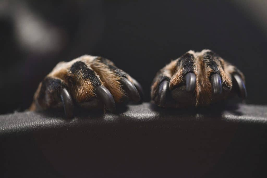 Two paws with nails