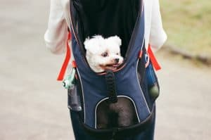 Small dog in a backpack on someone's back