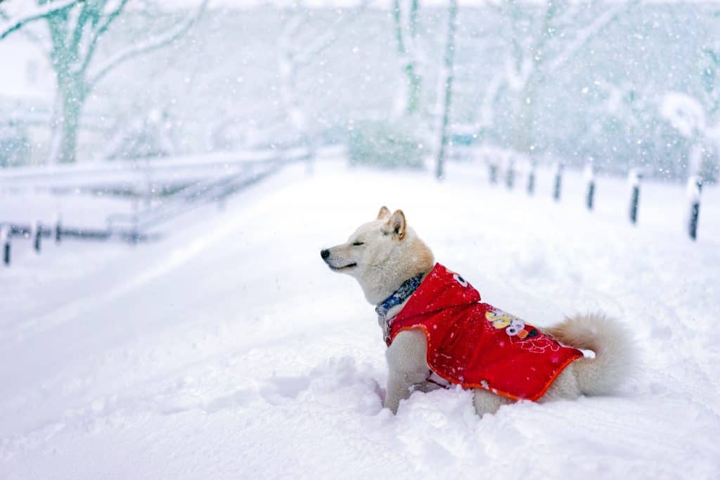 Dog wearing harness in snow