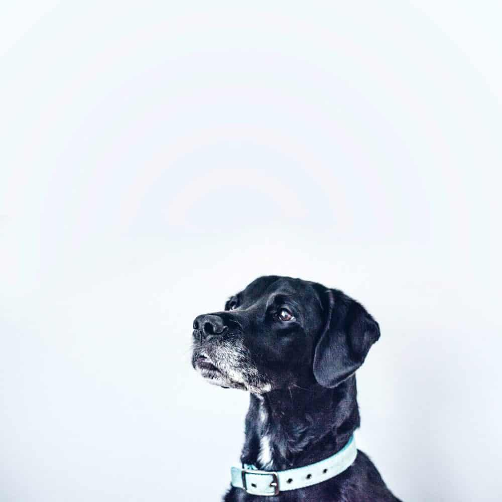 dog with collar on looking right