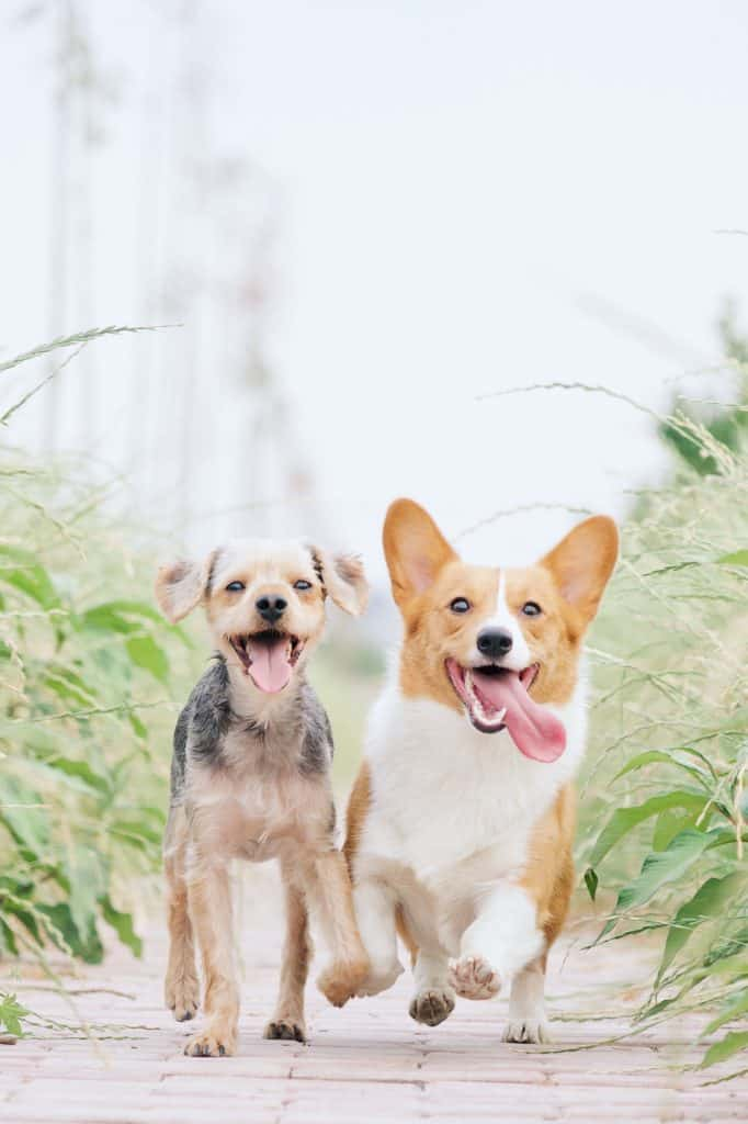 Two happy corgis