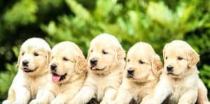 row of pups