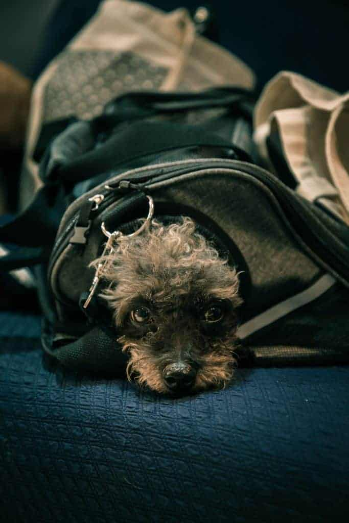dog in bag