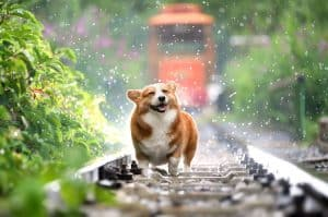 Happy corgi on train track