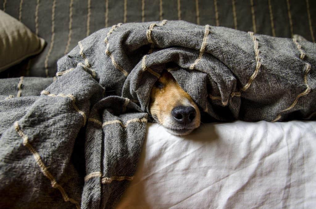Chien sous une couverture