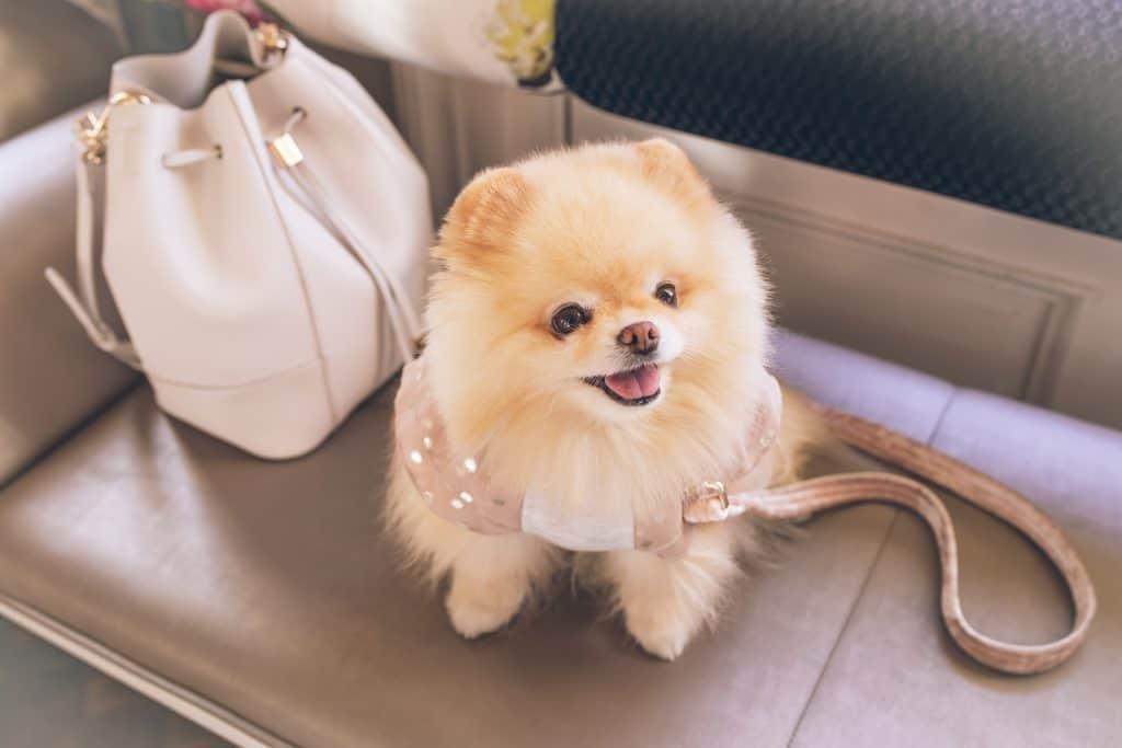 Pomeranian with handbag