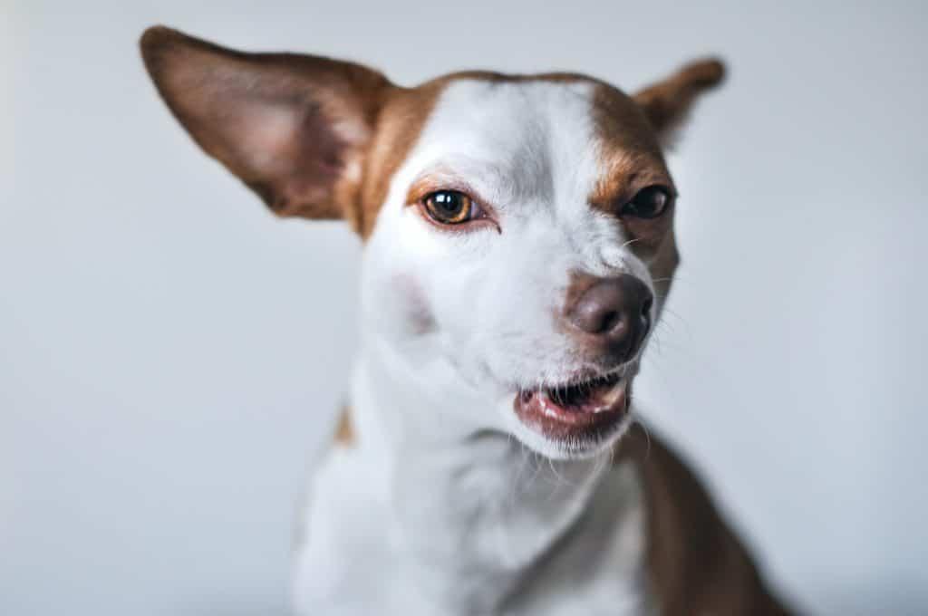 little dog winking