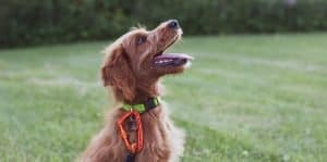 brown dog with collar