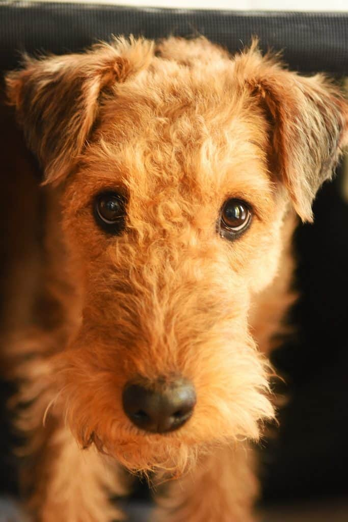 Airedale