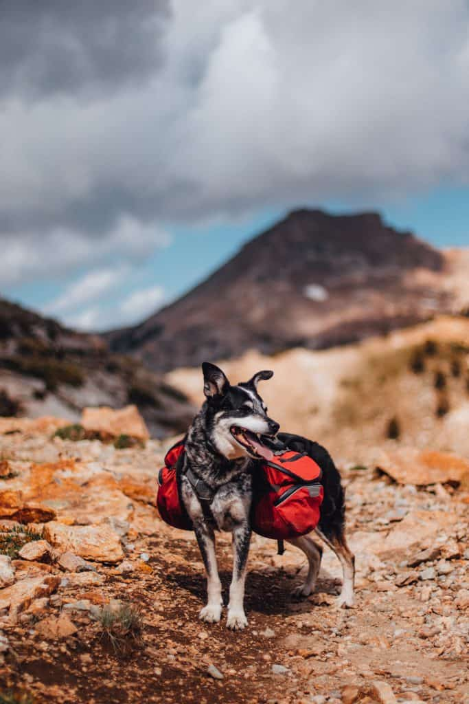 dog with pack