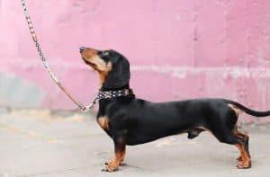 dachsound on leash